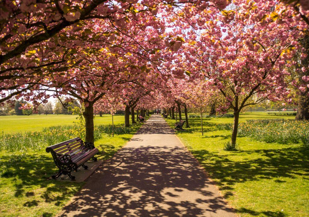 Kuvituskuva, jossa kirsikkapuiden reunustama puistotie