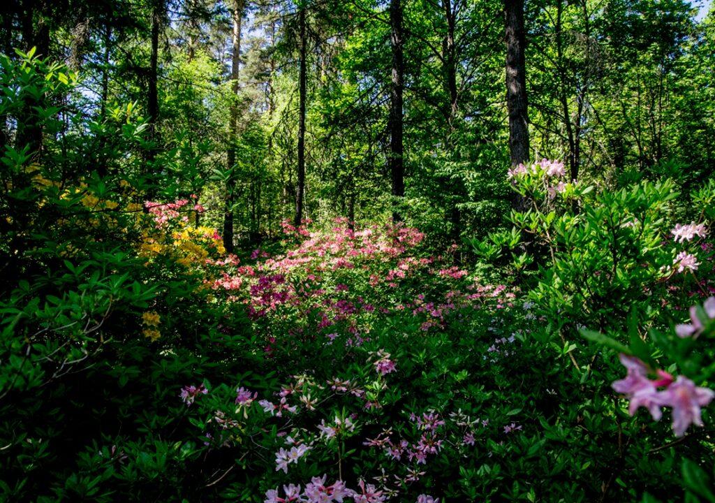 Kuvituskuvassa alppiruusut kukkivat eri väreissä metsässä.